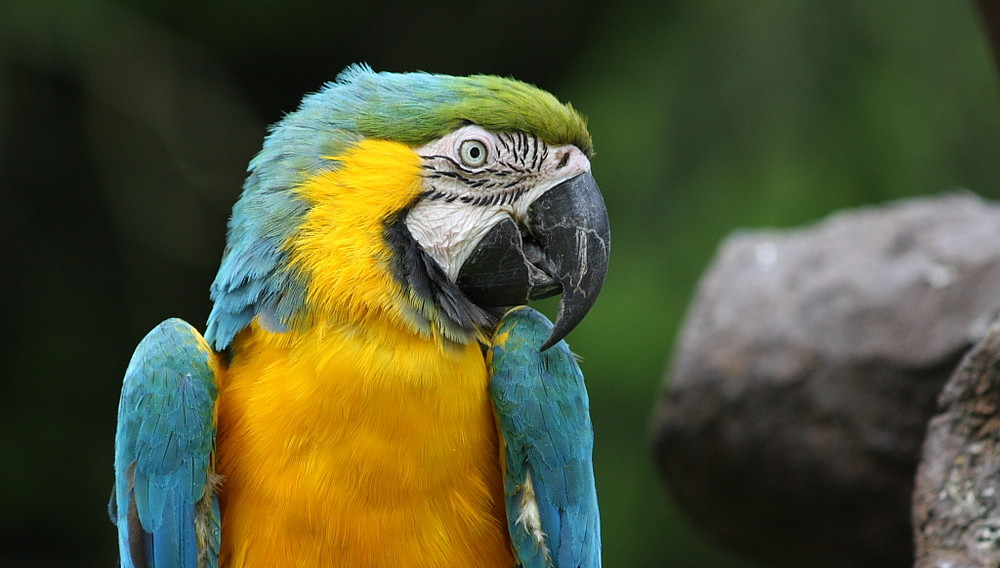 Pappagallo - Parrot