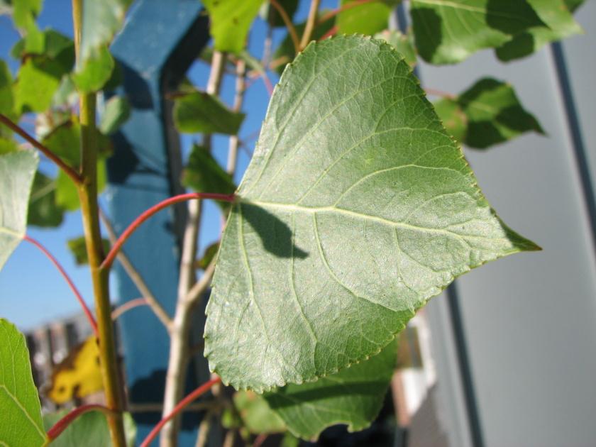 Pappel im Garten 2