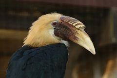 Papua - Hornvogel