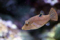 Papua Spitzkopfkugelfisch