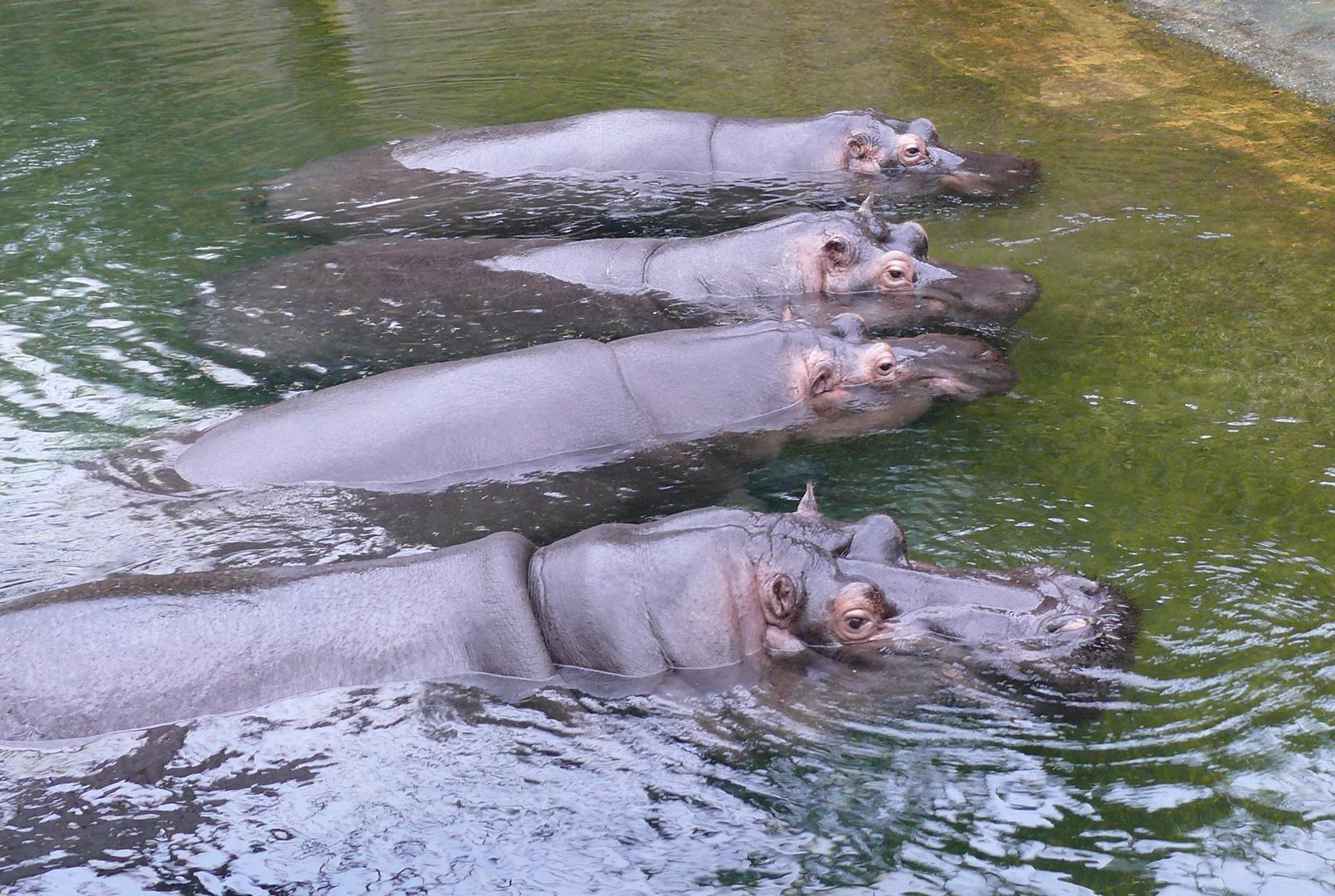 Parade der Flusspferde