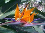 Paradiesvogelblüten - Strelitzia