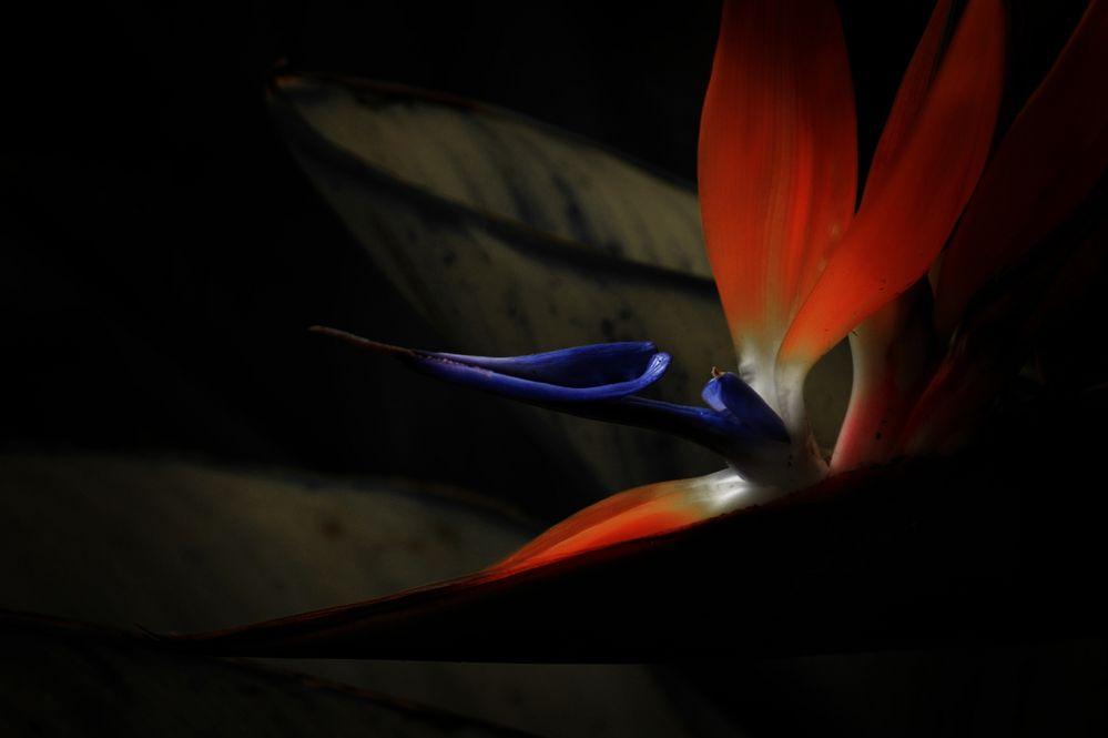 Paradiesvogelblume - Strelitzie
