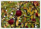 Paradis-Apfel?!