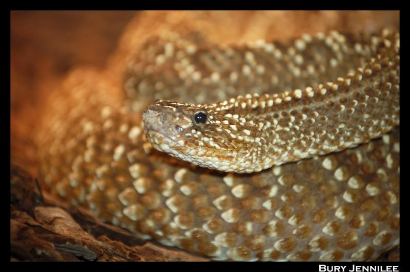 Paradisio serpent