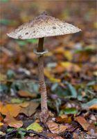 Parasol (Macrolepiota procera)