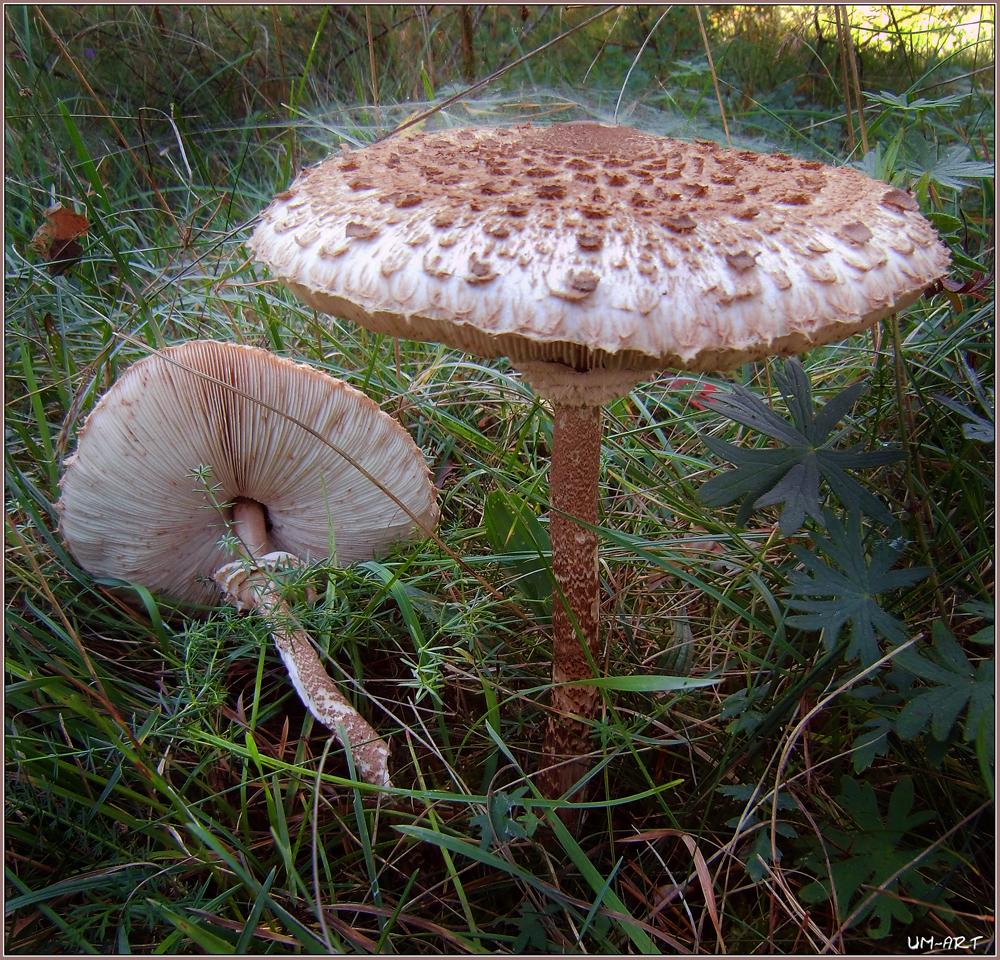 parasolpilz foto bild pflanzen pilze flechten pilze flechten wald b ume pilze. Black Bedroom Furniture Sets. Home Design Ideas