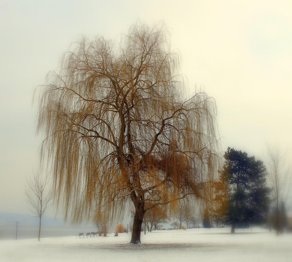 Parc à Bodman/  Salix alba