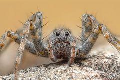 Pardosa wagleri Weibchen