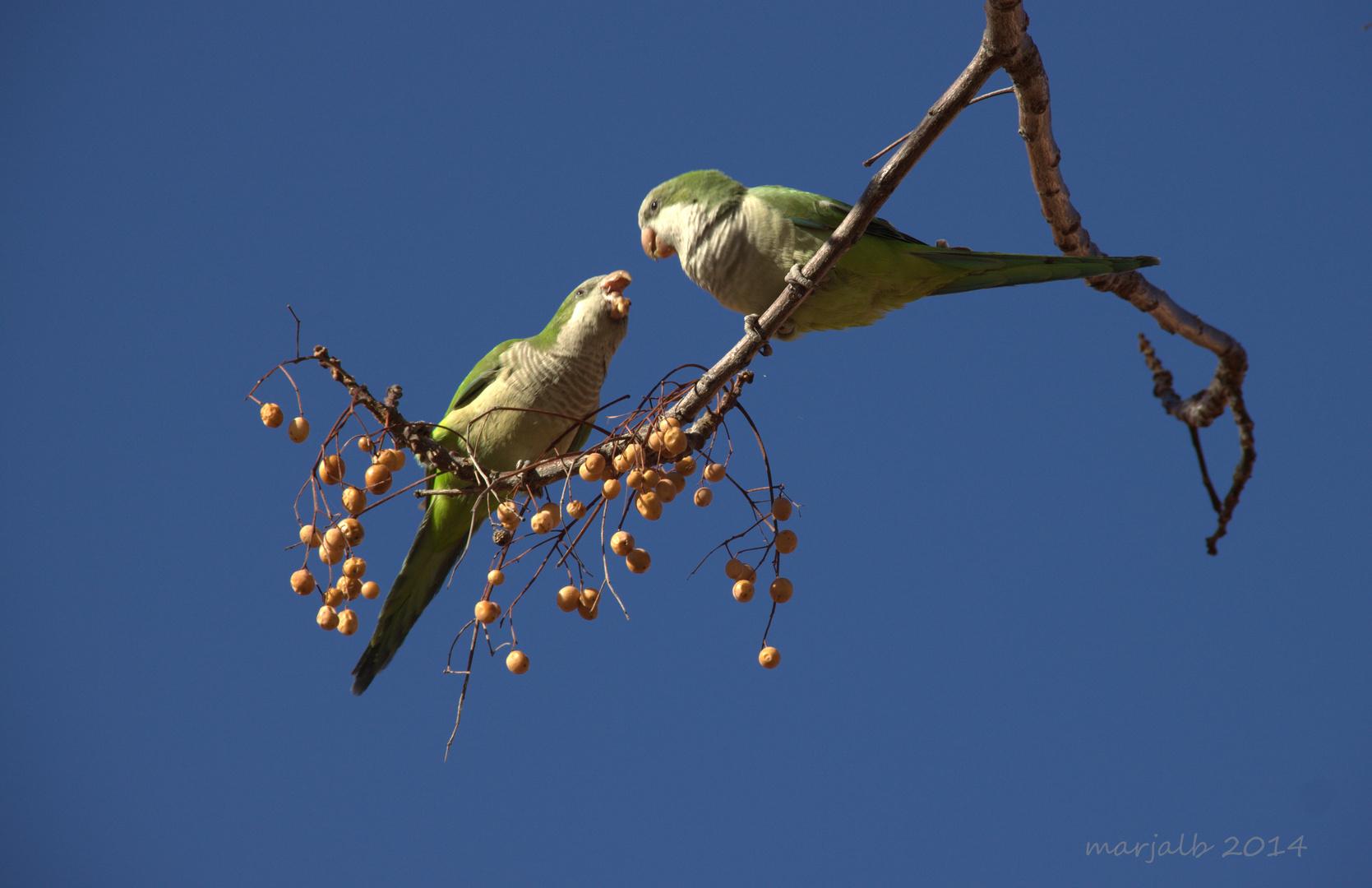 Pareja de Cotorras Monje discutiendo Couple arguing monk parakeets