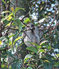 paresseux bien accroché à sa branche