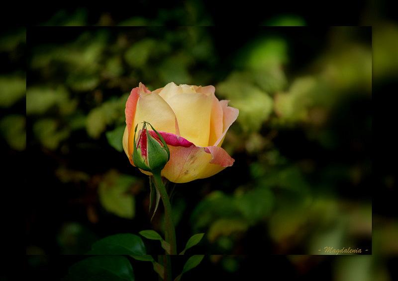Parfum de rose pour une douce nuit