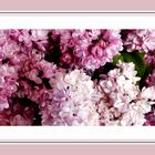 Parfum lilas