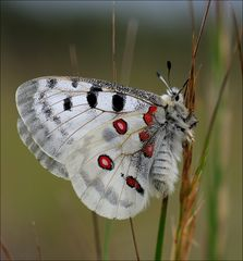 Parnassius apollo thiemo