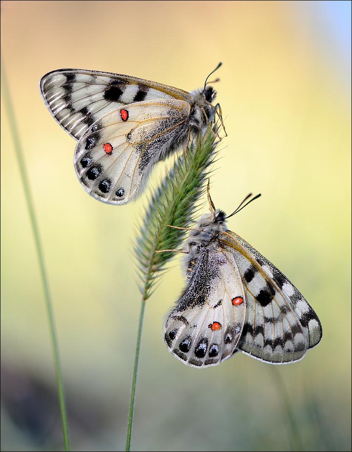 Parnassius loxias