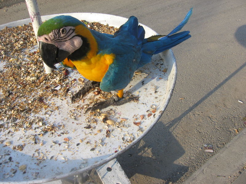 Parrot,