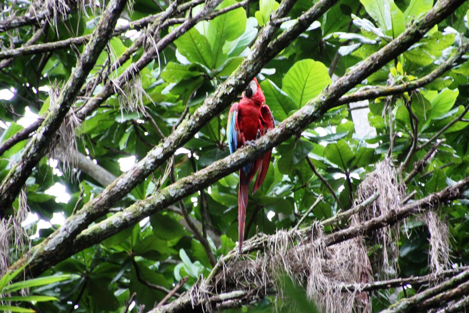Parrot Jungle near Amazonas 0332