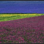 particolare della fioritura di  Castelluccio
