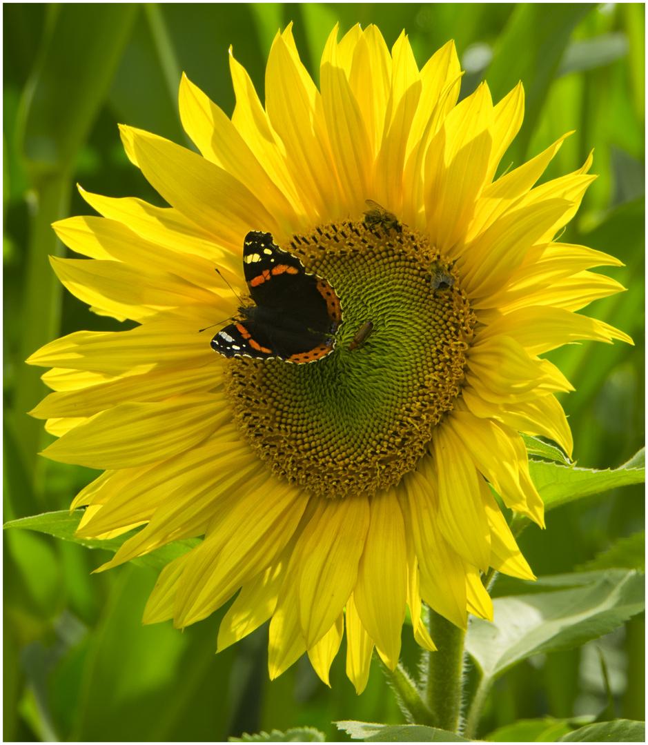 party auf der sonnenblume foto bild natur schmetterling insekten bilder auf fotocommunity. Black Bedroom Furniture Sets. Home Design Ideas