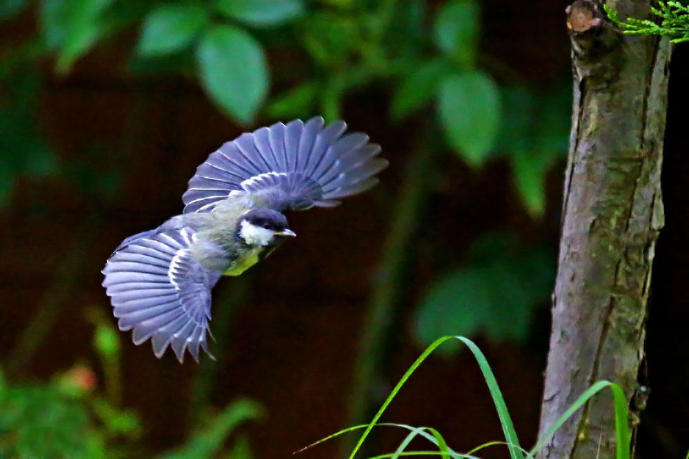 Parus major - Jungvogel