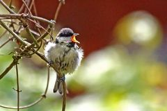 Parus major - Kohlmeise -