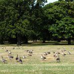 parvada de patos en Kenssington - Londres