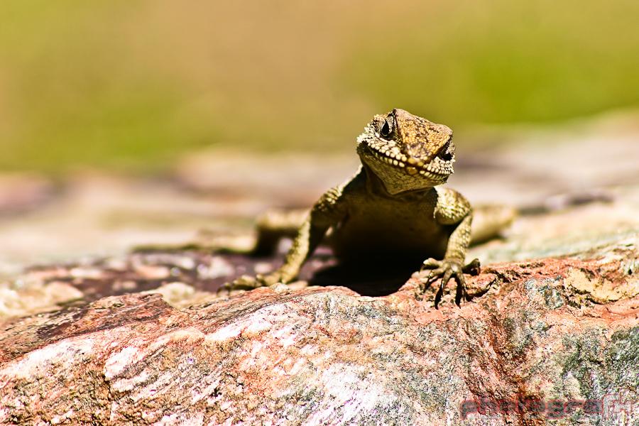 parvati's lizard