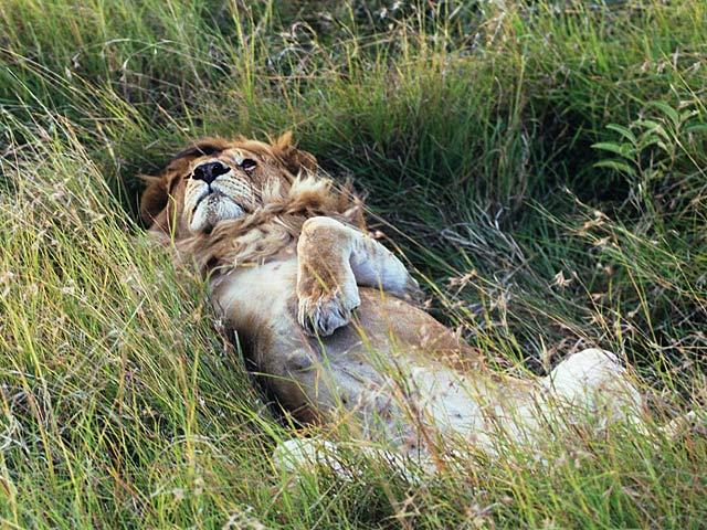 Pasha Kräfte sammelnd, Masai Mara
