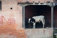 Pashupati Stilleben mit Kuh