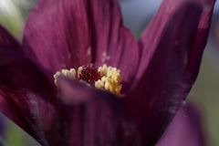 Pasque flower (Pulsatilla)