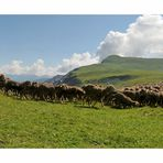 Passage des moutons