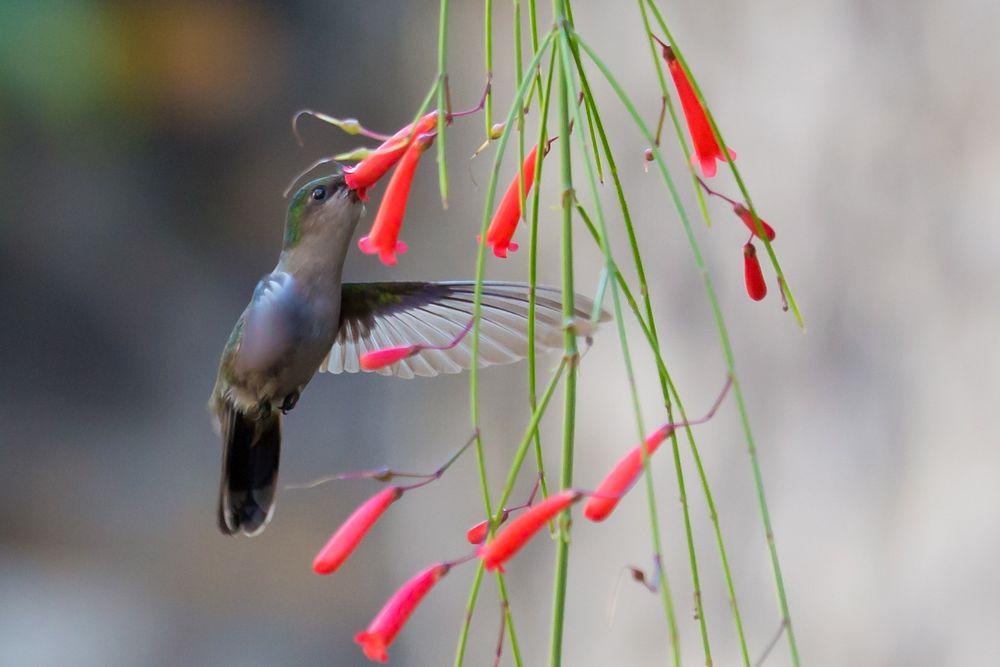 Passage éclair d'un colibri
