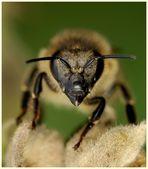 Passbild von einer Biene
