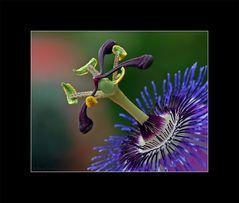 Passiflora #2