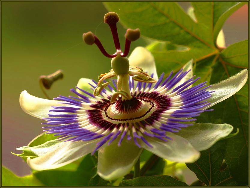 Passiflora*
