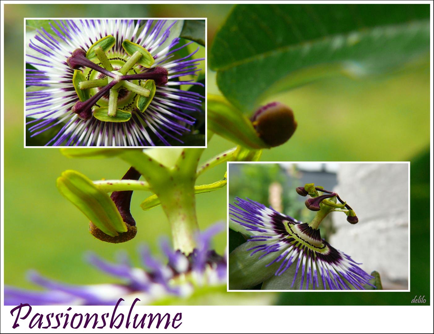 Passiflora, blau