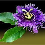 """Passiflora """" Byte"""""""