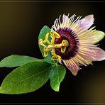 Passiflora caerulea  3. Blüte