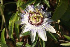 ..Passiflora caerulea...