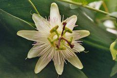 "Passiflora caerulea ""Constance Elliott"""
