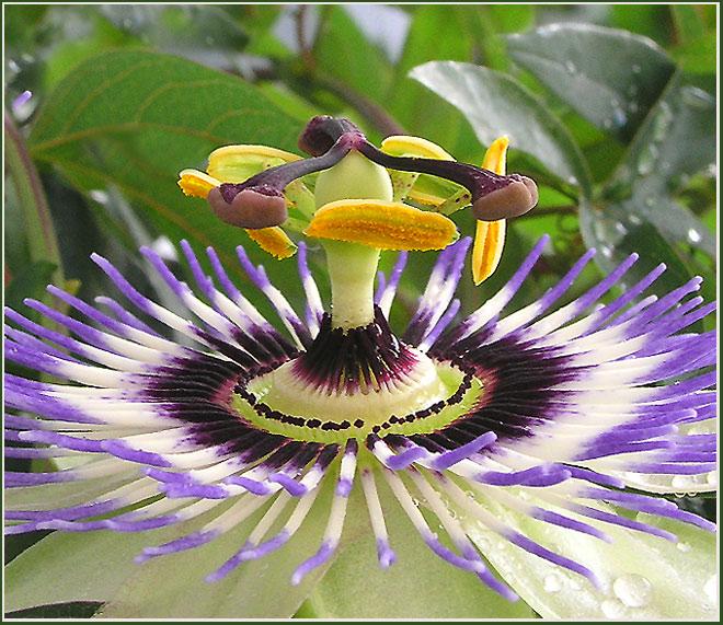 Passiflora caerulea(Passionsblume),.. im Regen