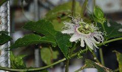 Passiflora edulis var. edulis oder Maracuja
