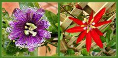"""Passiflora Hybride """"Byte"""" und Passiflora """"coccinea - rote Grenadilla """""""