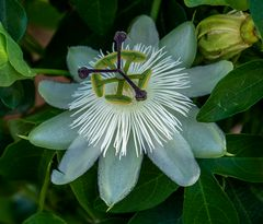 passiflora in fast weiss