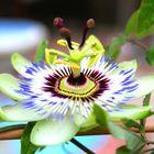 Passiflora in posa