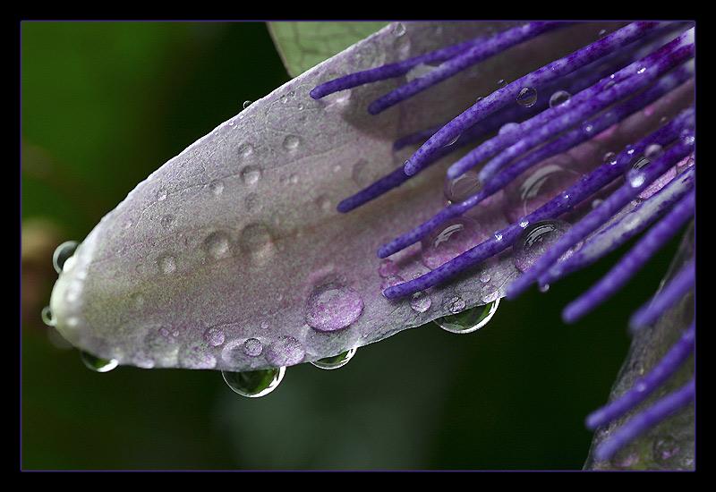 Passiflora incarnata - Passionsblume