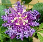 Passiflora Ìncense`