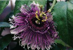 Passionflower-Hybrid