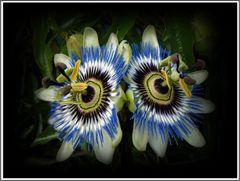 Passions Blumen