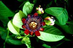 Passionsblüte (Teneriffa)